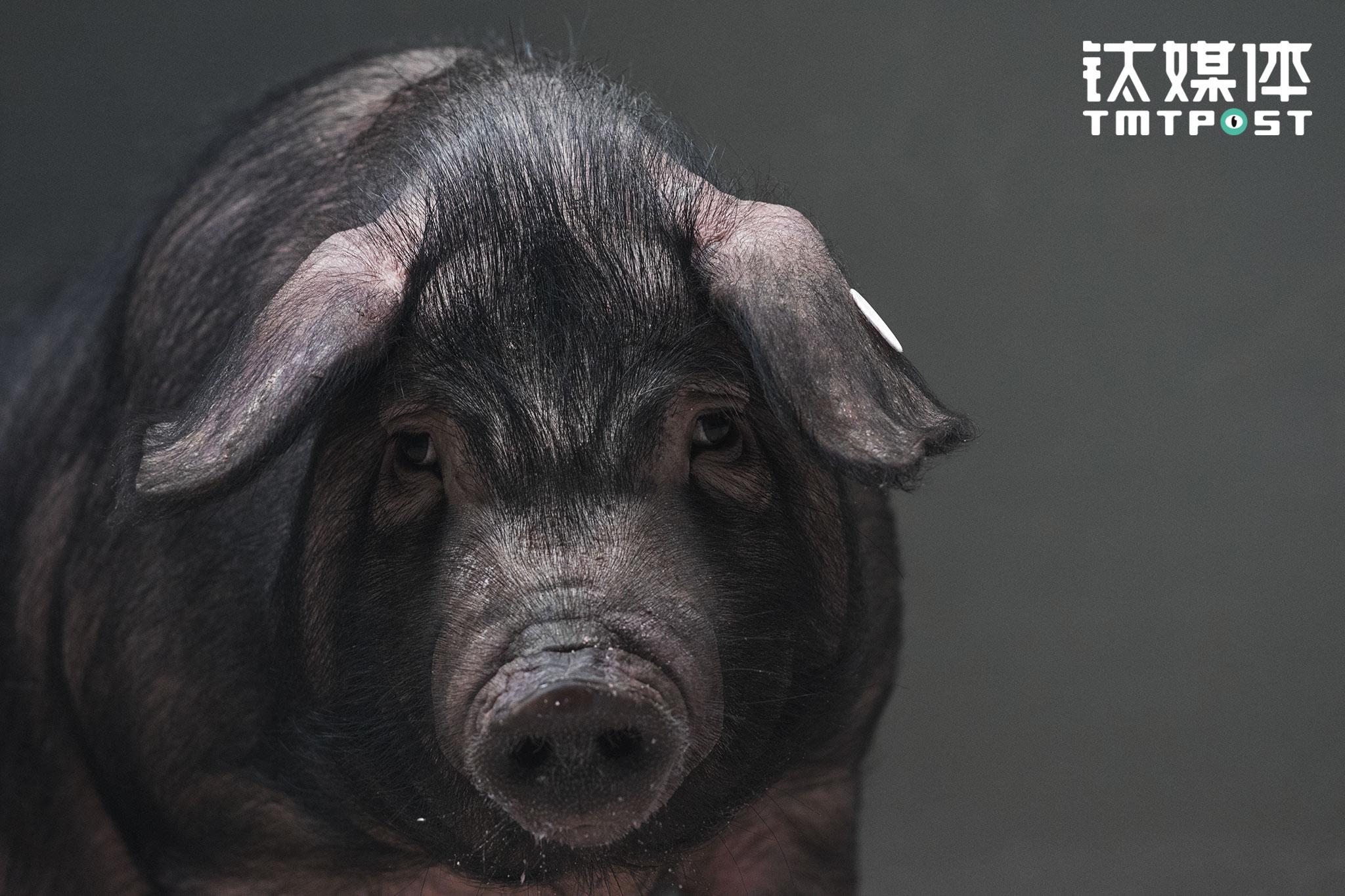 On March 26th 2017 at Jishanxiang, Anji country, Zhejiang province. A black pig at NetEase Weiyang Modern Agricultural Park.