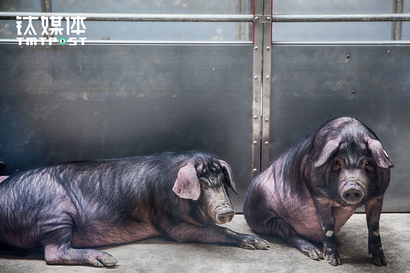 """Black pigs inside Weiyang pig farm. In traditional cultivation farms, it generally takes five to six months or shorter to raise a pig and put it out in the market. But pigs at Weiyang take ten months. """"Traditional cultivation business model serves the pig sales, and therefore the pig raisers only want to sell more pigs to their clients. In this case, they generally count on the days and hope to make more money in the cultivation cycle,"""" Weiyang's staff explained. NetEase directly provides pig products for its customers, and therefore it has to be responsible for the taste of the pork. Besides the pig breed and pig feed, the cultivation period is also crucial to the taste of the pigs."""