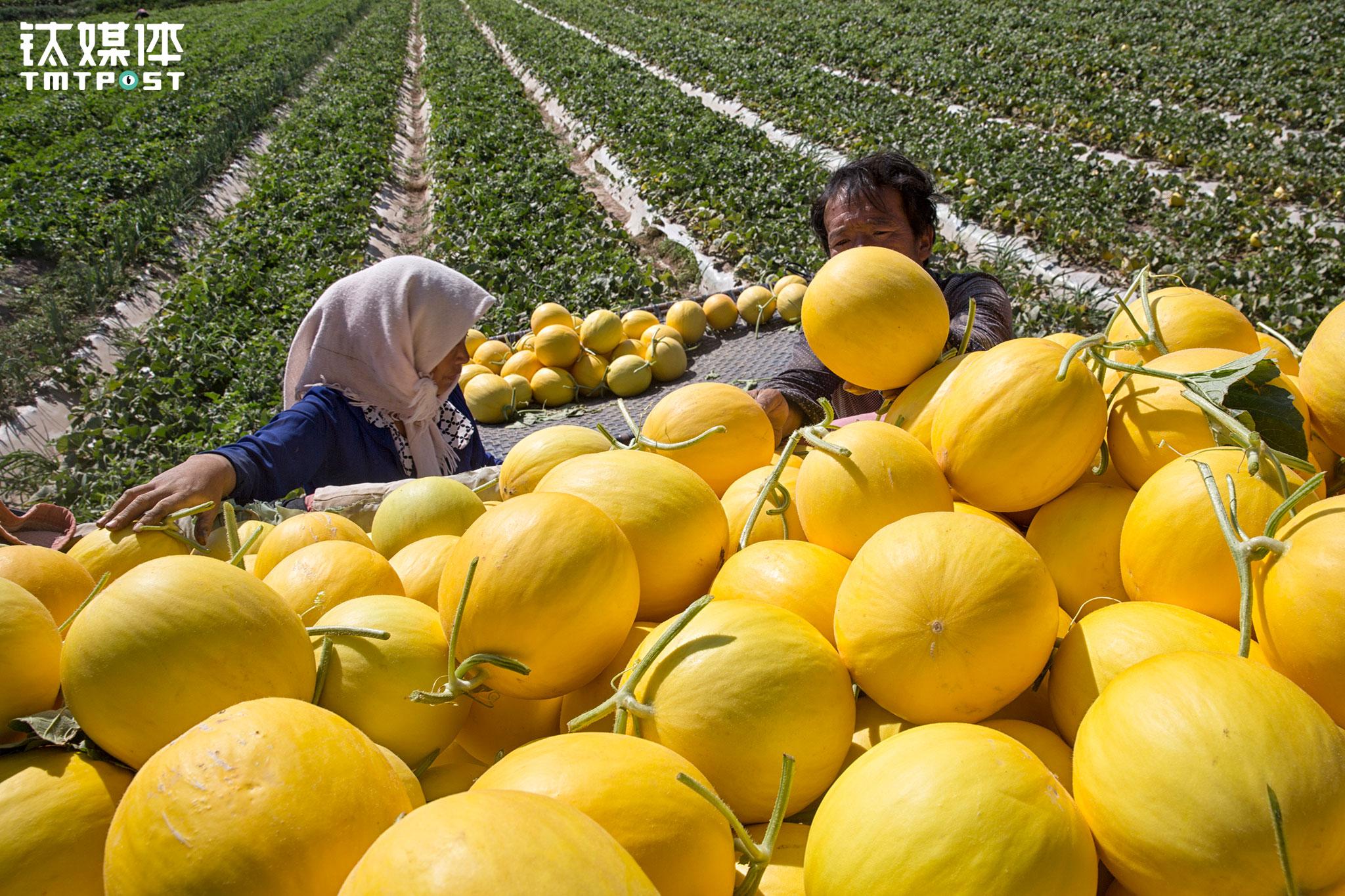 2017年7月16日,一对夫妇从地里收摘金红宝蜜瓜。金红宝和西州蜜是这里农民赖以生存的主要作物,每年夏天全国各地的批发商会来到民勤收瓜,这也是当地农民最忙的季节。当地批发的瓜价一般在7~8毛每斤,今年受南方水灾等影响,瓜价跌到3~4毛左右,在一线城市的水果店,这类瓜的售价一般在3~4元每斤。
