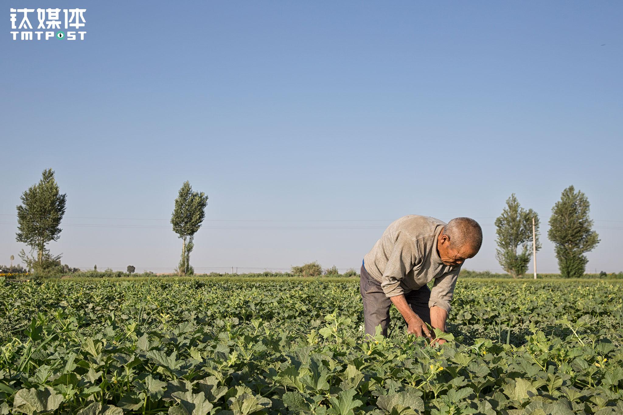 """12亩地有8亩瓜地,其他4亩是葵花、茴香和玉米,不闹自然灾害的情况下,这12亩地每年收入8000多元,这也是李红善维持这个家唯一的收入来源。由于比别人迟收,李红善家的瓜赶不上瓜价最好的时间上市:""""最开始瓜少可以卖个一块多钱一斤,等我们的瓜拉去卖的时候,只能卖个三毛多一斤了,有时候到最后收瓜的人只收个头大的瓜,小的瓜我们只能自己拉回家了。"""""""