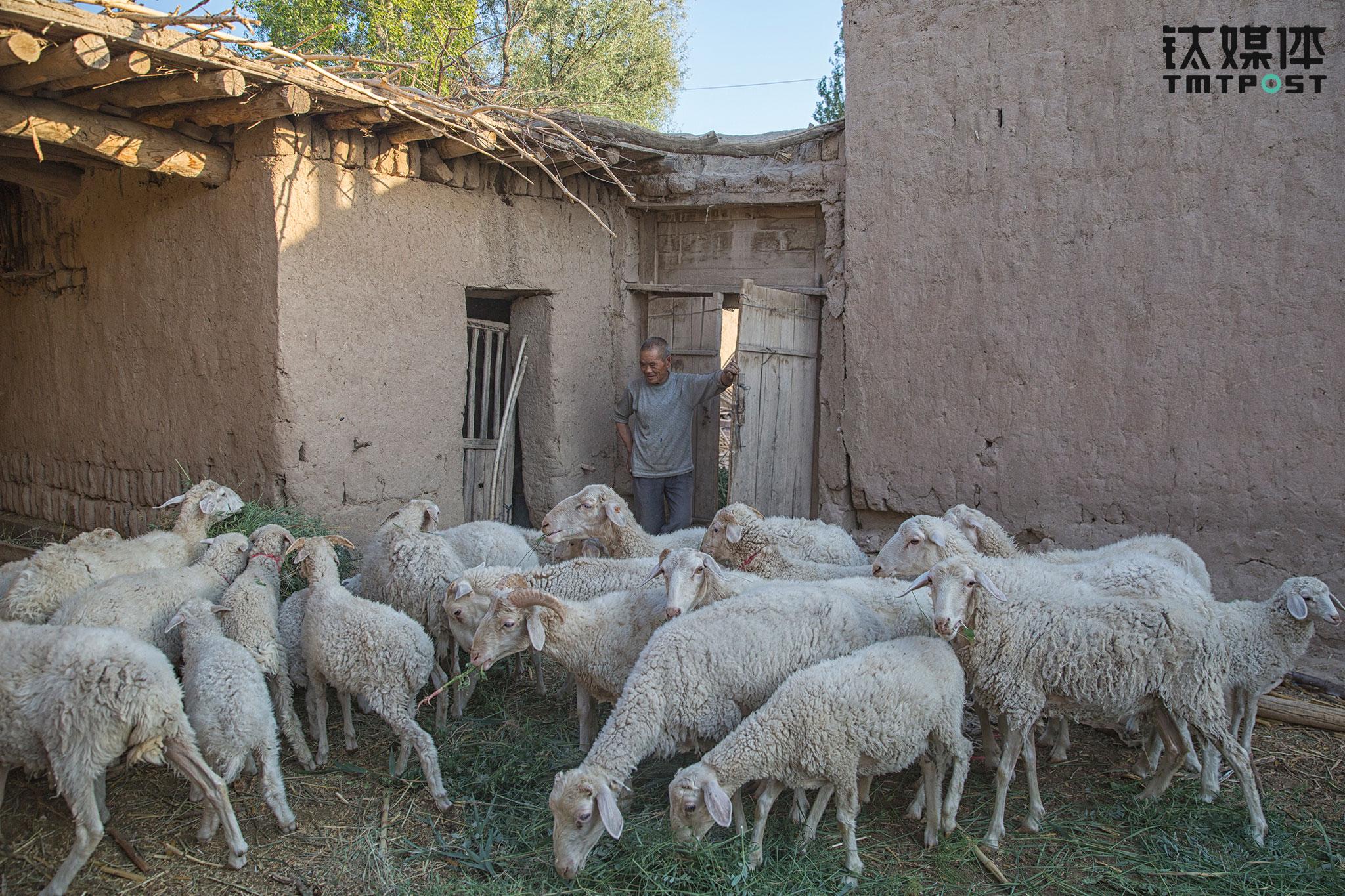 家里20只羊是很宝贵的财产,每天早晚要割草喂一次。家里平时不吃肉,只到冬天3个月时间才会杀一只羊过冬以及过春节。如果家里临时有急事,或者李生在学校急用钱,李红善就会卖掉一两只羊应急。