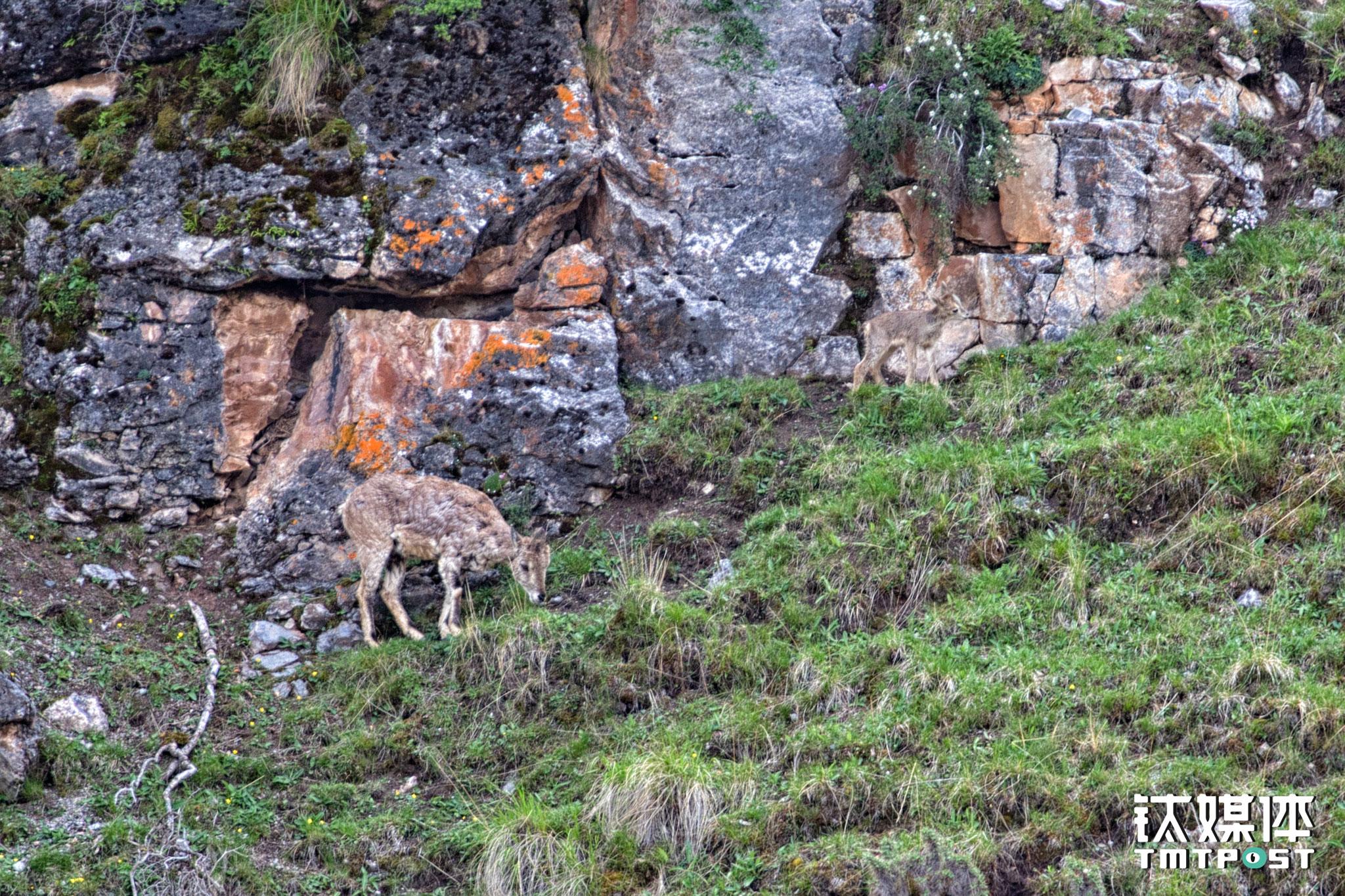 两只岩羊在河边山腰上进食。在漂流或徒步过程中,时常会看见诸如岩羊、秃鹫、鹰甚至雪豹、棕熊等野生动物。