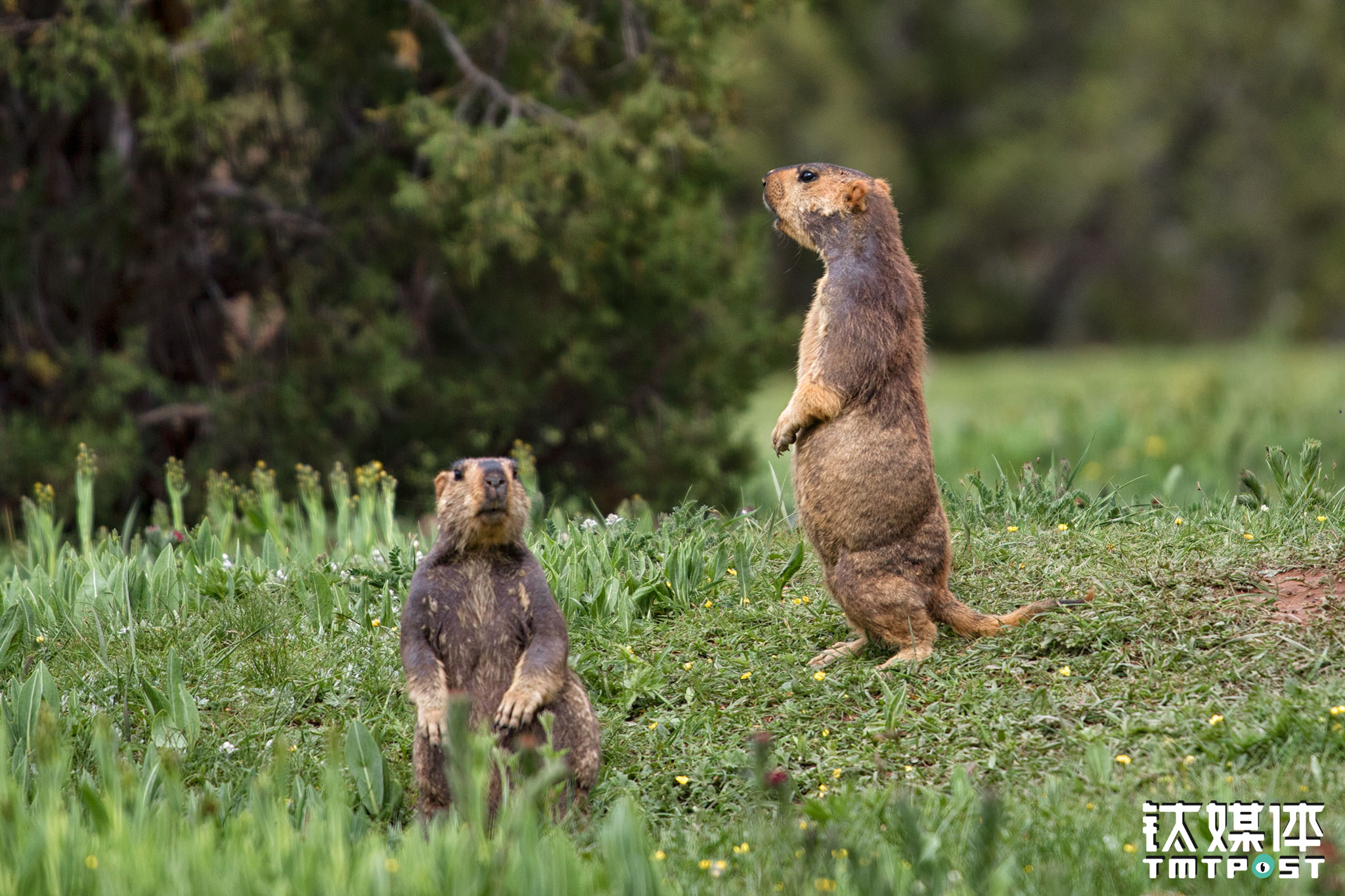 In the camp, two marmots were taking a peep at the humans. In this grassland where wild flowers blossom, marmots had set up their homes here. These little animals didn't seem to be scared by the presence of humans.