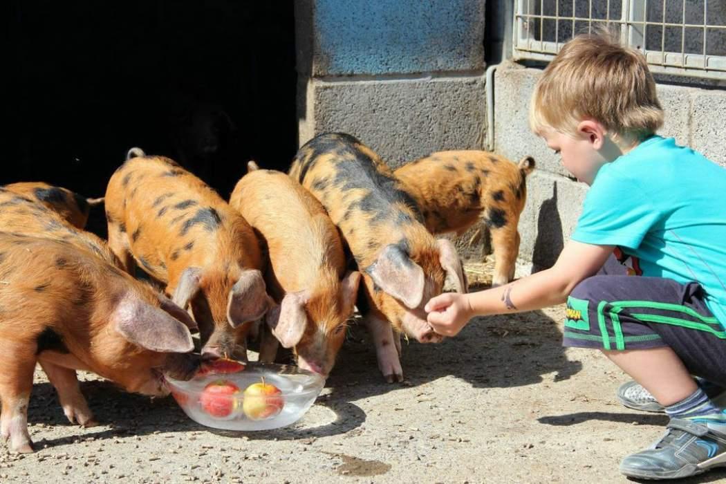 温氏、网易、硅谷,谁会是养猪的未来?