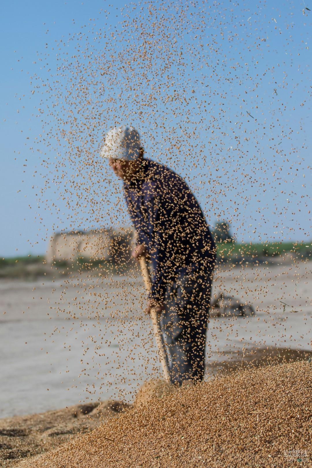大甩麦。甘肃民勤,老农扬起麦子。