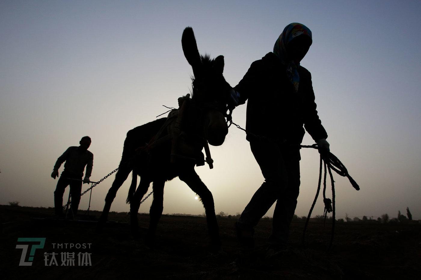 5月16日早上06:15,天刚亮不久,薛志明和妻子就已经赶着毛驴下地了。