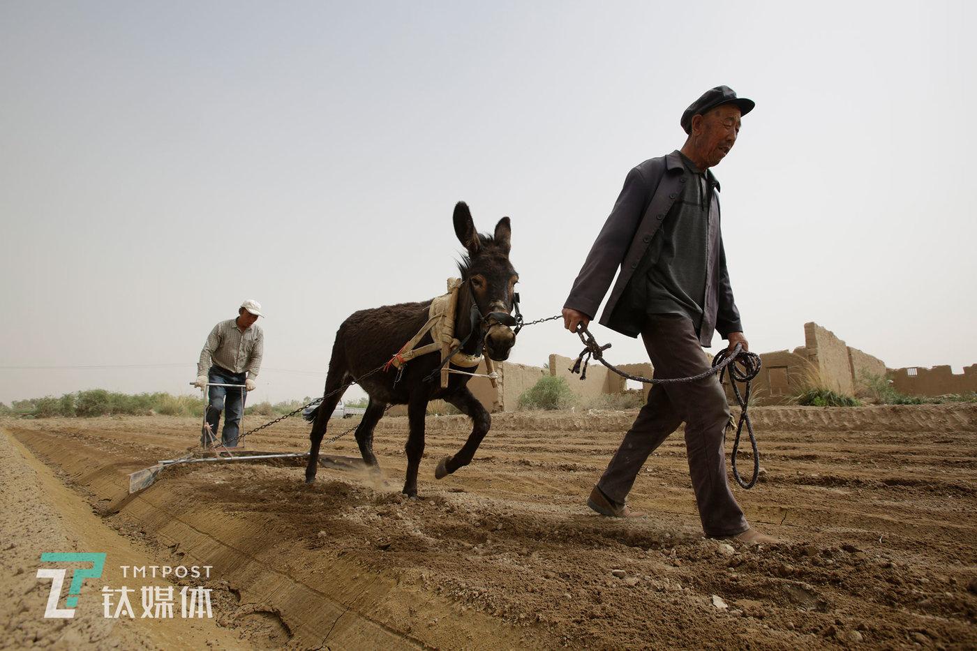薛志明的父亲今年80岁,儿子忙的时候他也会下地帮着做点事,对他来说,劳作是一生的习惯。几十年以来,当地人种地的方式没什么大的变化。