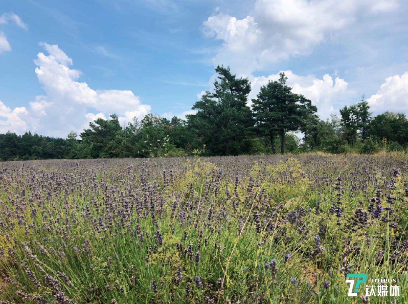 一株普罗旺斯熏衣草是如何被制成精油和香水的?
