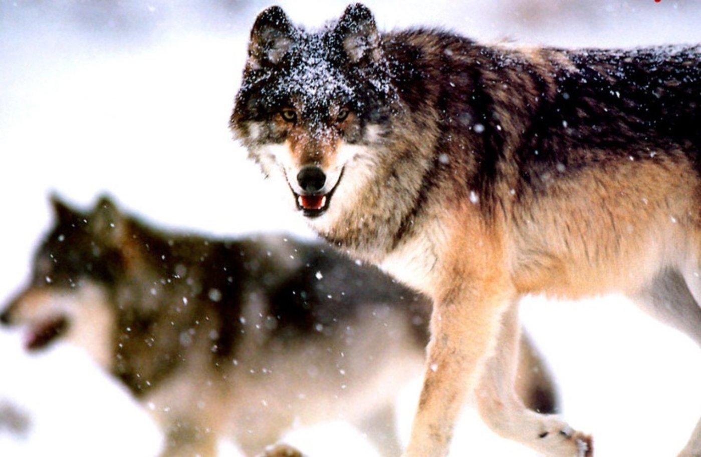 """听从老板、坚决执行的""""狼文化"""",并不适合互联网-钛媒体官方网站"""