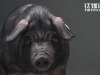 """我和丁磊养的猪""""睡""""了一夜丨钛媒体影像《在线》"""