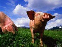 当2000万多头猪联接上网,会发生什么