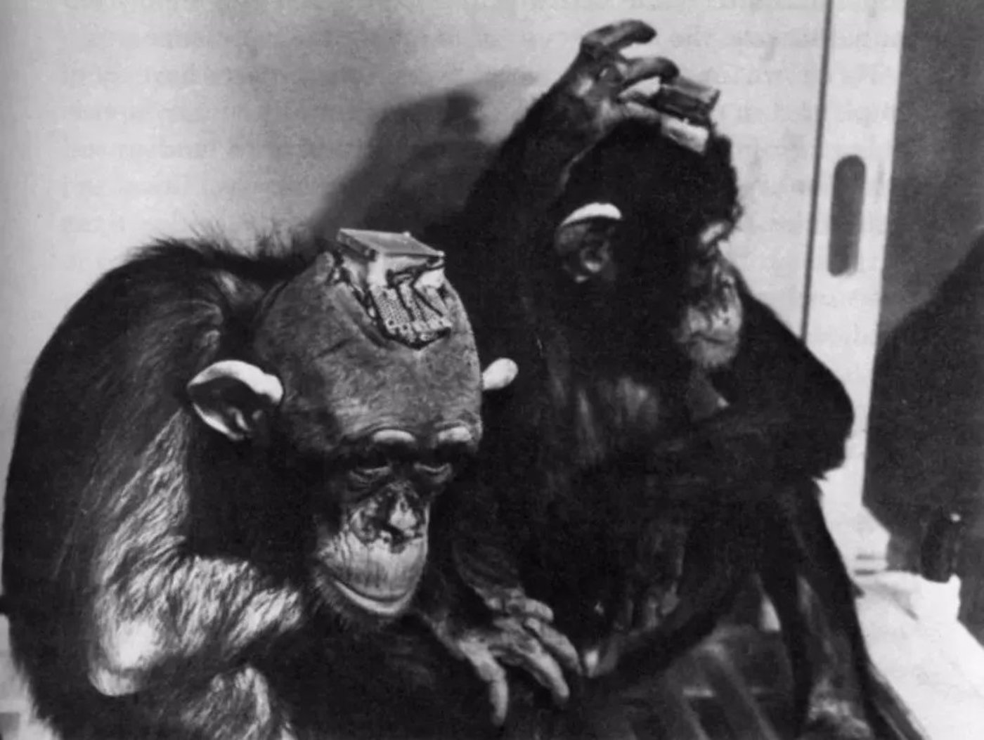 被用于实验的猩猩