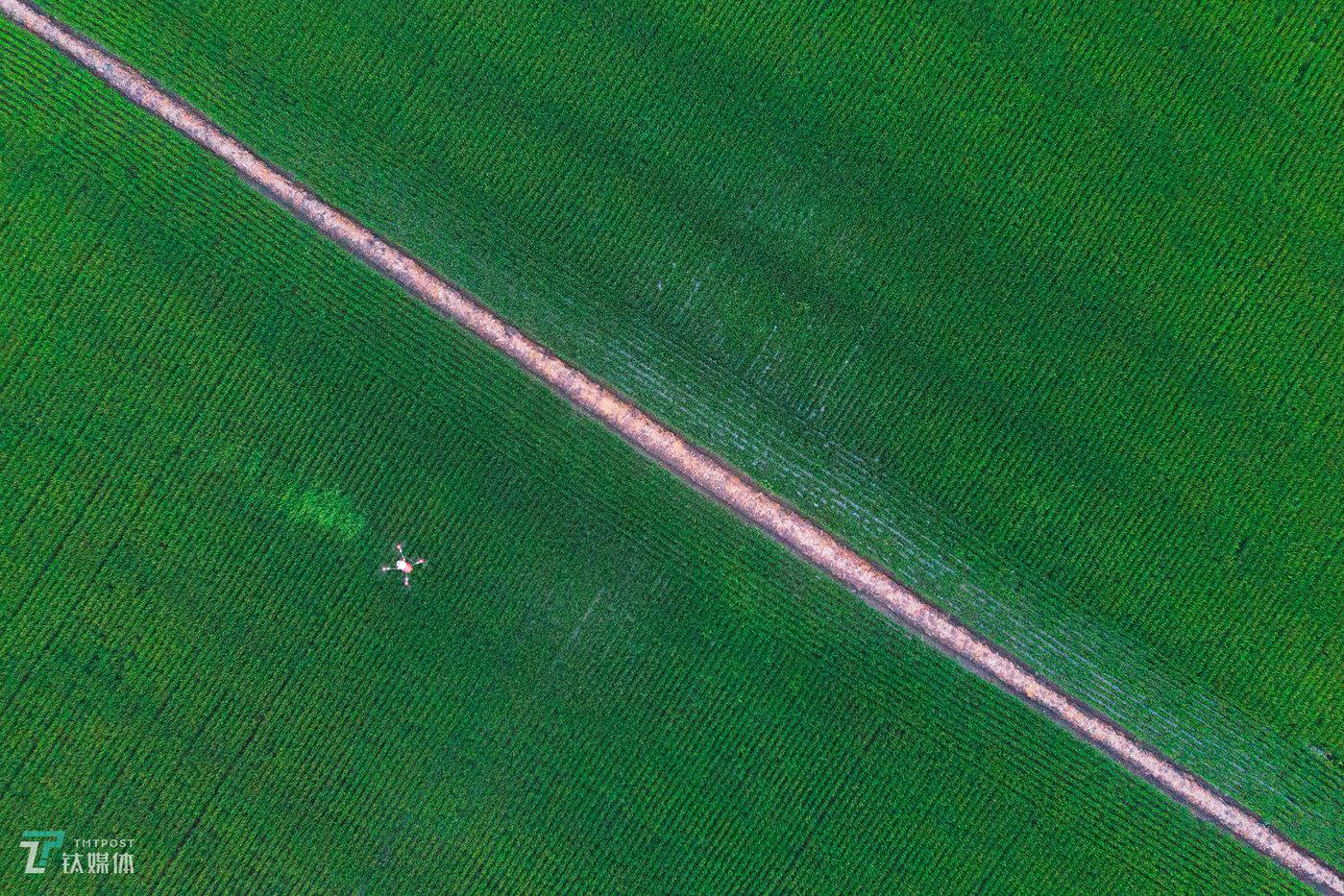 2018年7月21日,黑龙江省宝清县,一架植保无人机在农场水稻田进行农药喷洒作业。