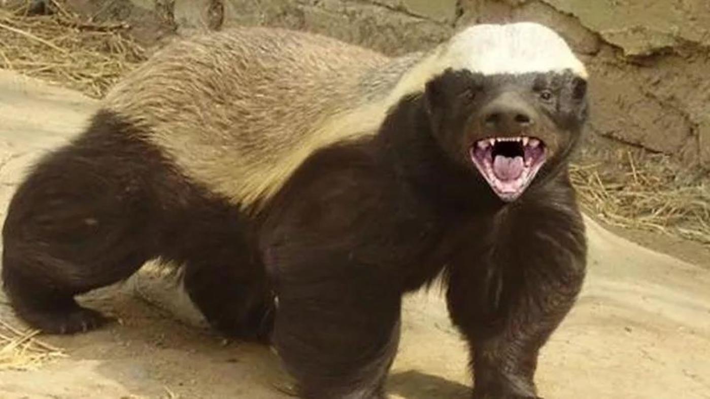 """蜜獾长这样,号称""""世界上最无所畏惧的动物"""""""