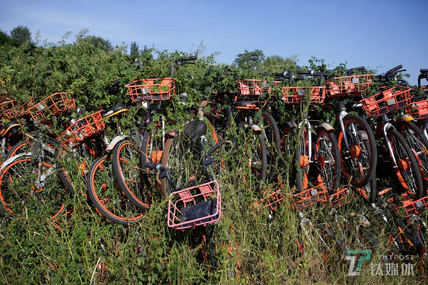 【野蛮生长】9月4日,北京丰台区王佐镇瓦窑村一个废弃砖窑厂空地,野蛮生长的藤蔓缠绕着堆积的共享单车。