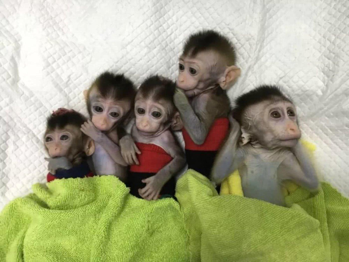 五只生物节律紊乱体细胞克隆猴,图/中科院神经科学研究所