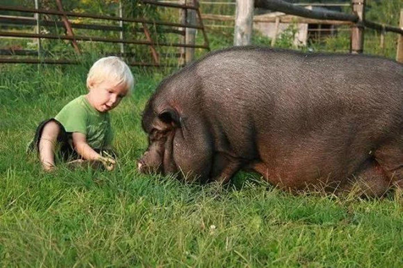 把猪当宠物:买猪一时爽,长肥屠宰场
