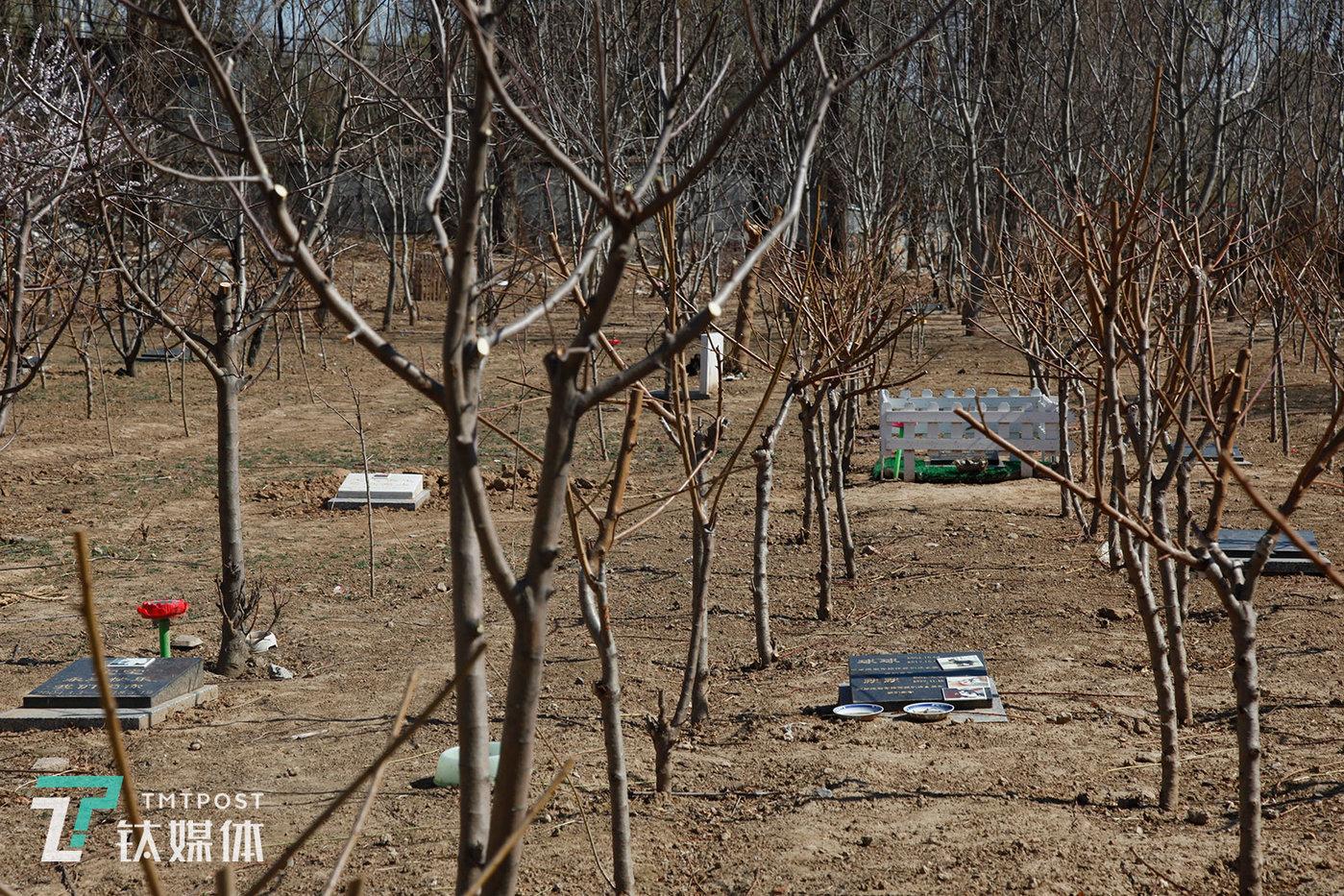 除了火化,宠物殡葬服务还包括宠物墓地。钛媒体影像《在线》走访了位于北京房山区的安乐墓宠物墓地。据负责人介绍,整片林业一共4亩,可安葬约250只宠物。