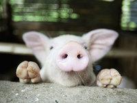 《Nature》重磅封面:让死亡猪脑恢复细胞功能
