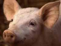 """被""""复活""""的死亡猪脑:Nature封面报道引发热议,脑死亡还是生命的终结么?"""