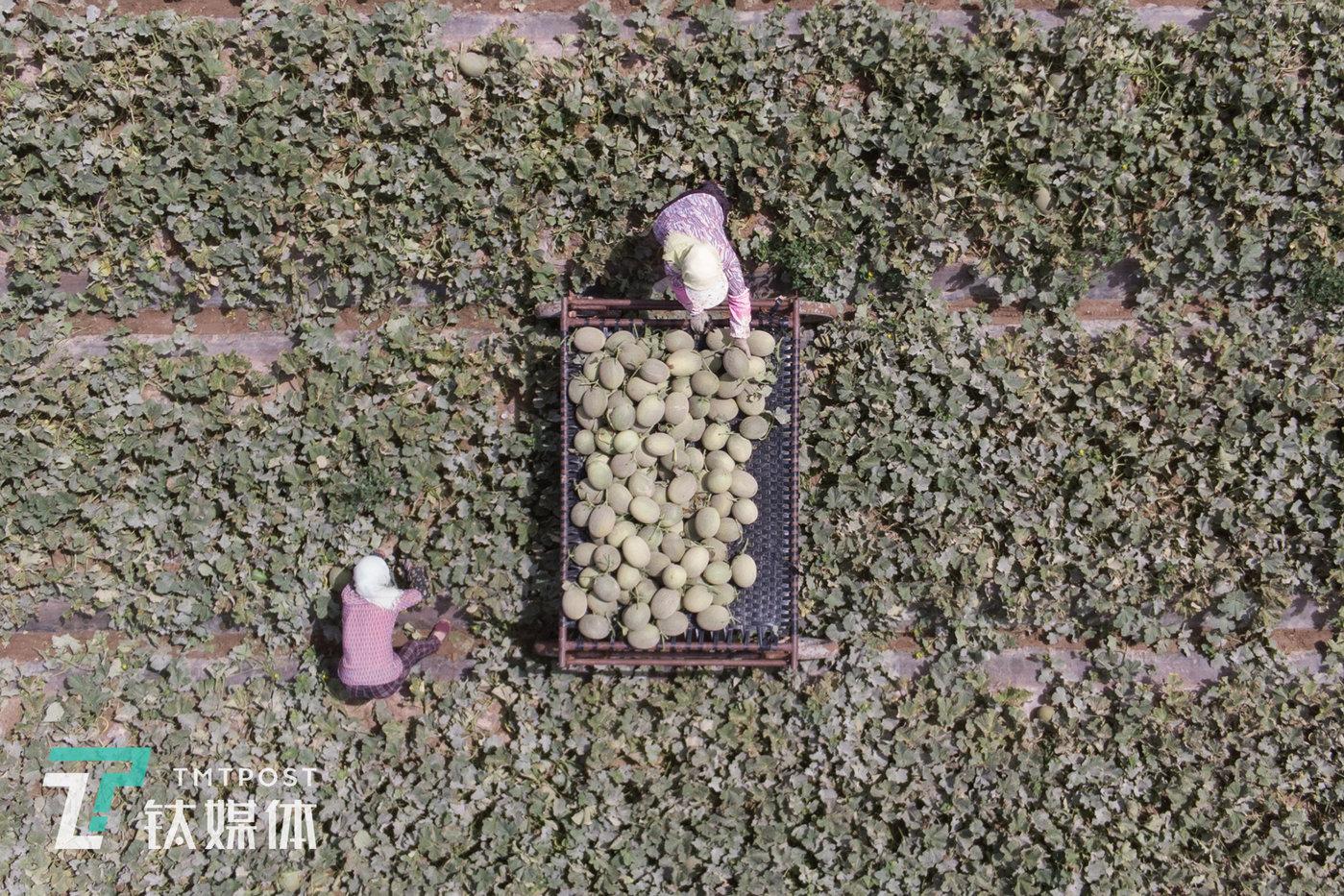 民勤县收成镇附智村,两位瓜农在摘收蜜瓜。