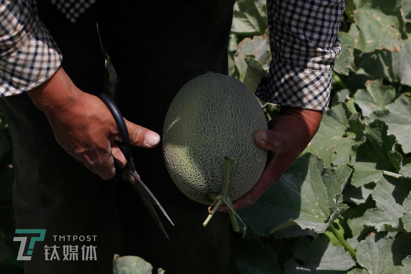 2019年8月18日,附智村,瓜农薛志明在摘收蜜瓜。