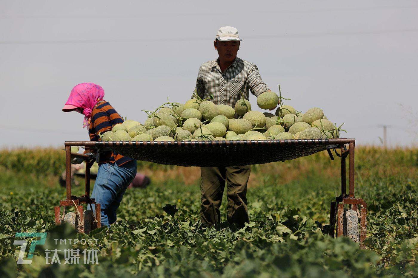 薛志明和妻子陈景润在摘收蜜瓜。