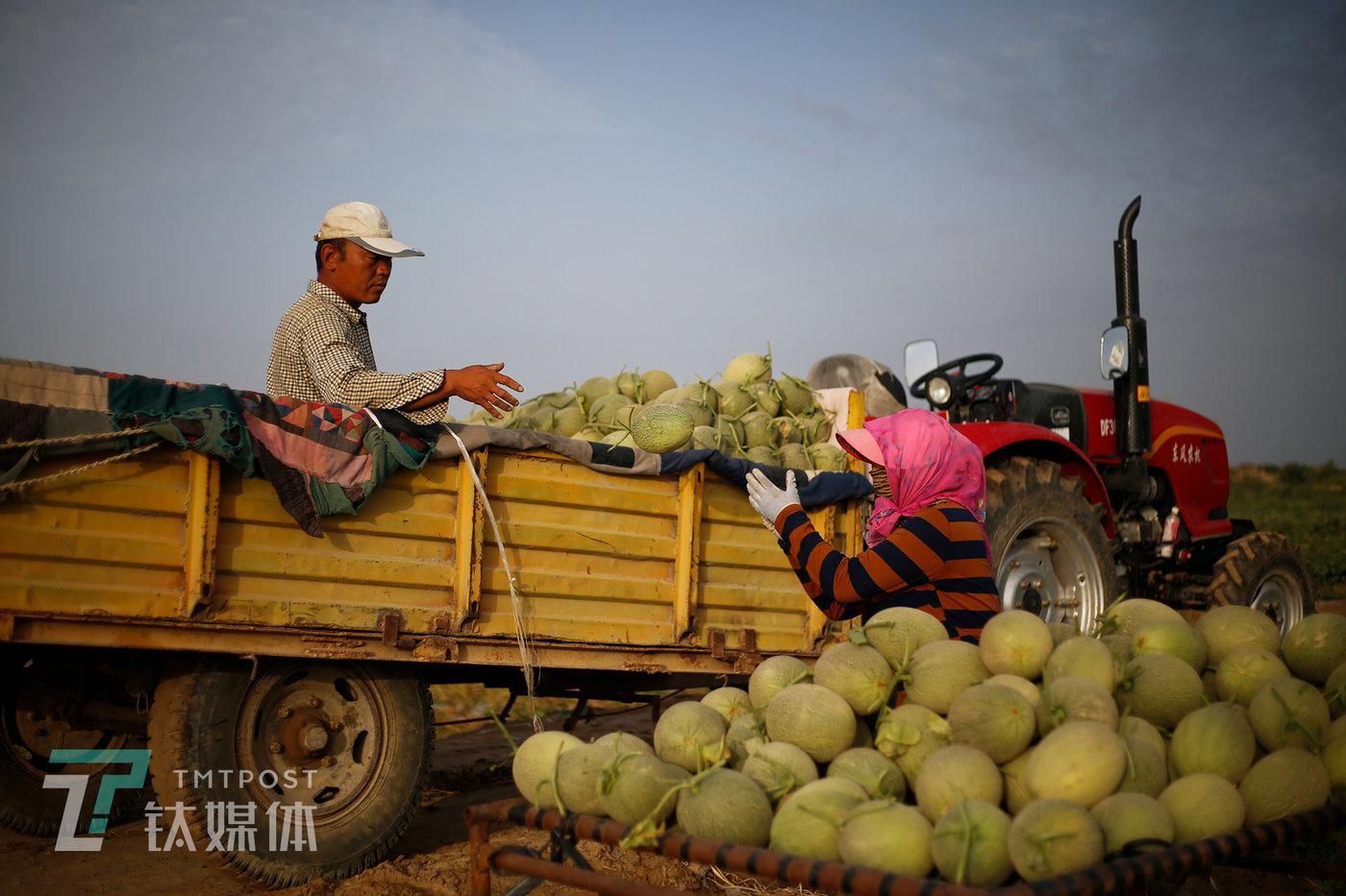 装满瓜的四轮车被推到田埂边,夫妻俩配合着,一个扔瓜一个摞瓜,将瓜一个个装上拖拉机的拖车上。