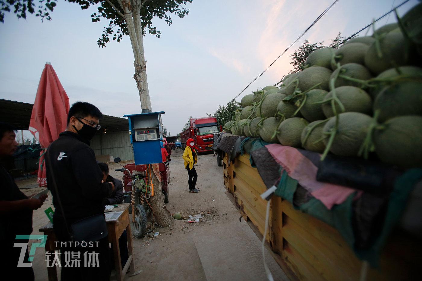 卖瓜的第一个步骤是过磅。在一名买家的监督下,薛志明将拖拉机开到地磅上。每年6月底到9月初,很多来自全国各地的水果商会聚集到这个小镇,他们在这里采购蜜瓜发往全国各大水果批发市场。