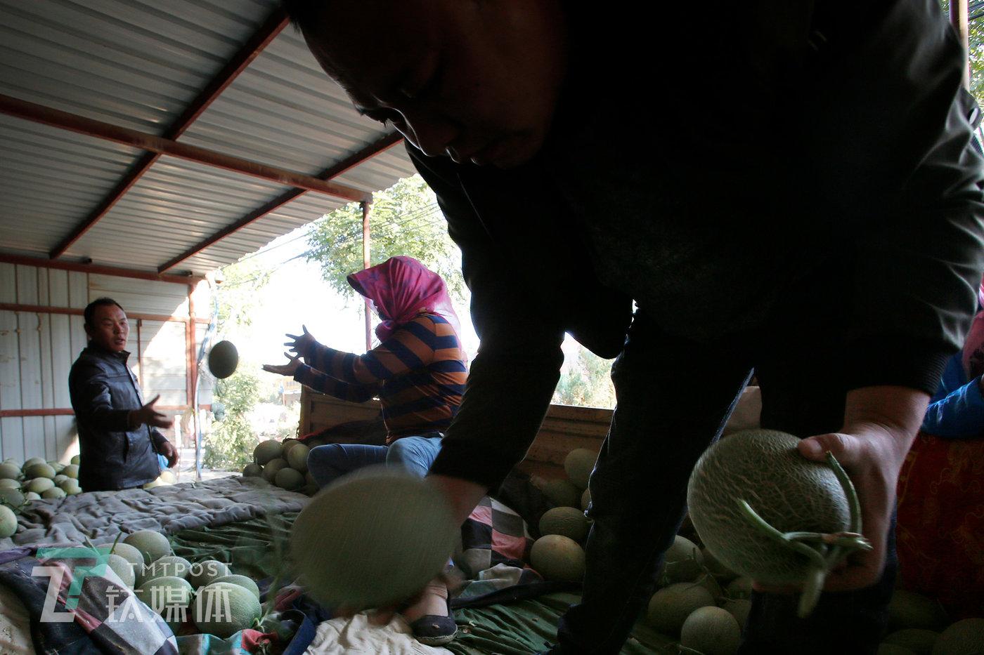 跟在瓜地摘瓜装车一样,卸瓜也要一个个经手。水果商(右)要一个个筛选,把一些不合格的瓜挑出来。