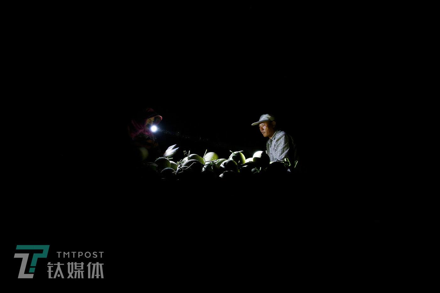 晚上9点半,夫妻俩还在抢时间摘瓜。如果瓜熟了而没被及时采摘,可能很快就会裂开。