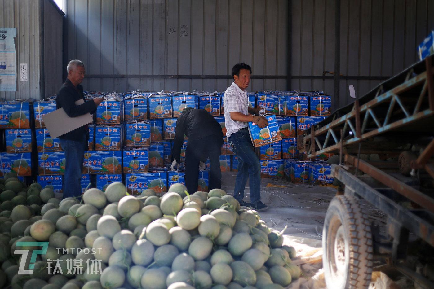 收成镇,两名装卸工在水果商(左)的指挥下,往卡车传送带上搬送打包好的蜜瓜。