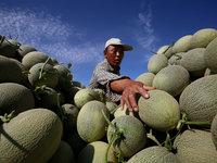 末代农民:一个瓜农的春种夏收丨钛媒体影像《在线》