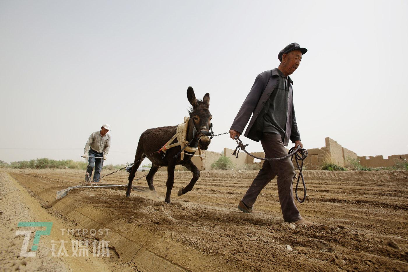 2019年5月15日,甘肃省民勤县收成镇附智村,薛志明和他的父亲赶着驴平地。