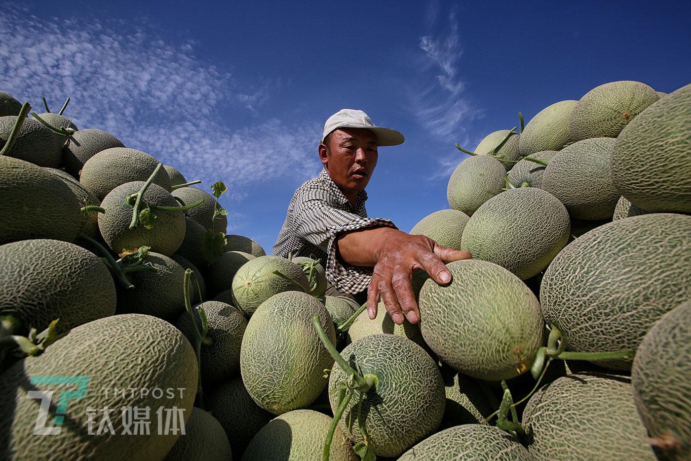 薛志明将蜜瓜装上拖拉机,他要将这些瓜一车车运到镇上的市场出售。2019年他一共卖了11万,收入比平常年份大约少两三万,比行情最好的2018年少了二十多万。