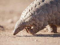 穿山甲被指认新冠病毒中间宿主:比蛇可信,是非法交易量最大的哺乳动物