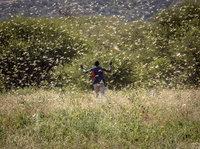 2020大蝗灾是怎样发生的? | 钛媒体科普