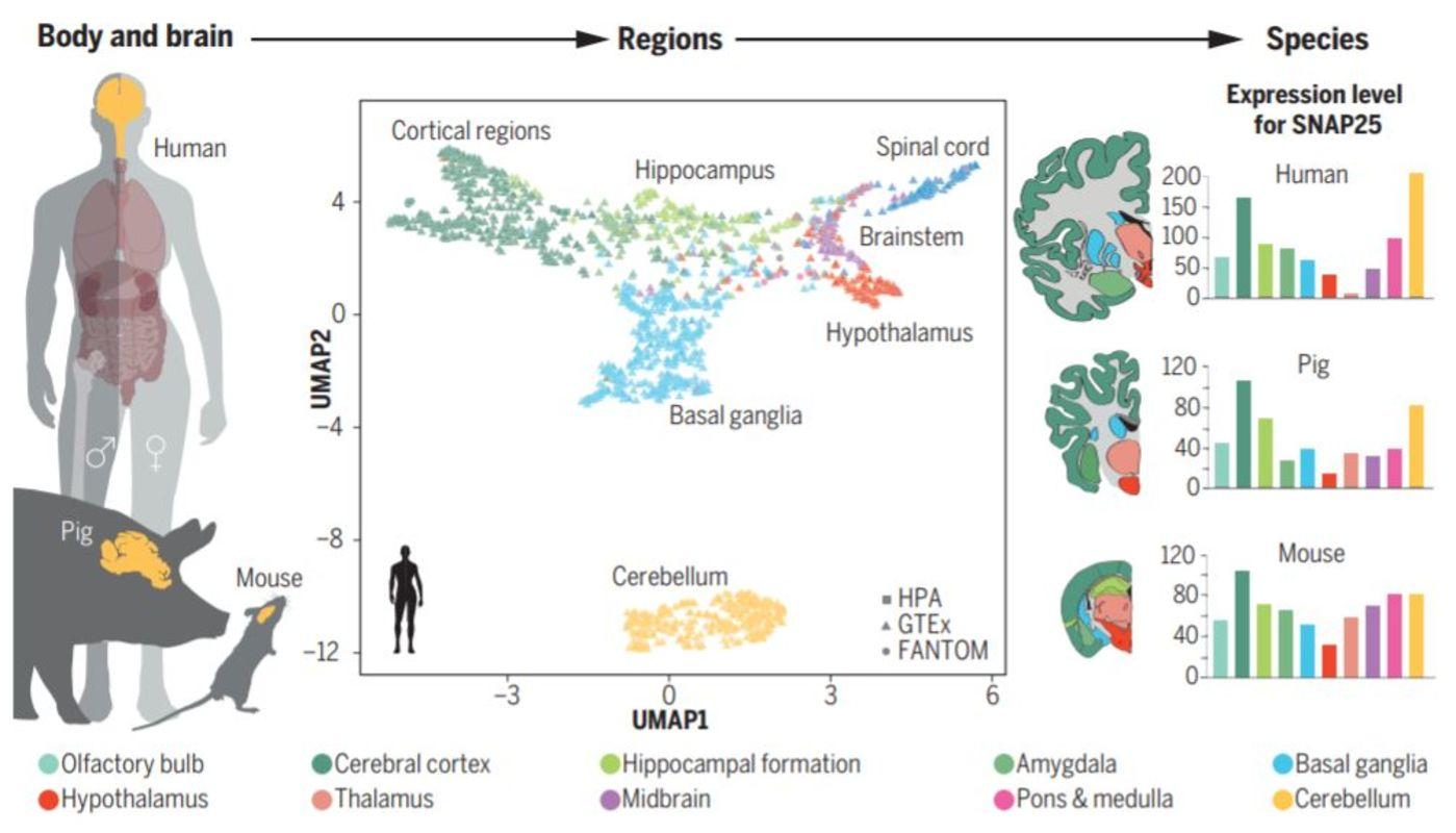 全基因组转录组分析揭示哺乳动物大脑区域和物种特异性的表达(来源:Science)
