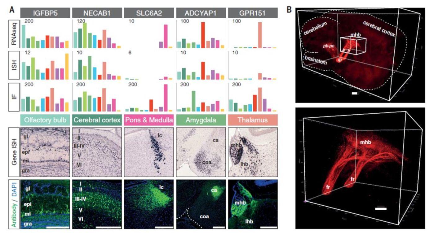 小鼠大脑区域转录组、原位杂交和免疫荧光数据比较(来源:Science)