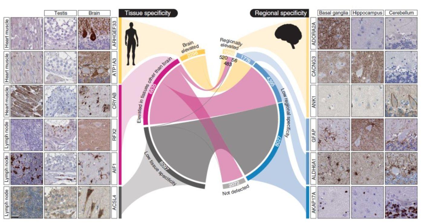 大脑区域基因表达与全身表达的比较(来源:Science)