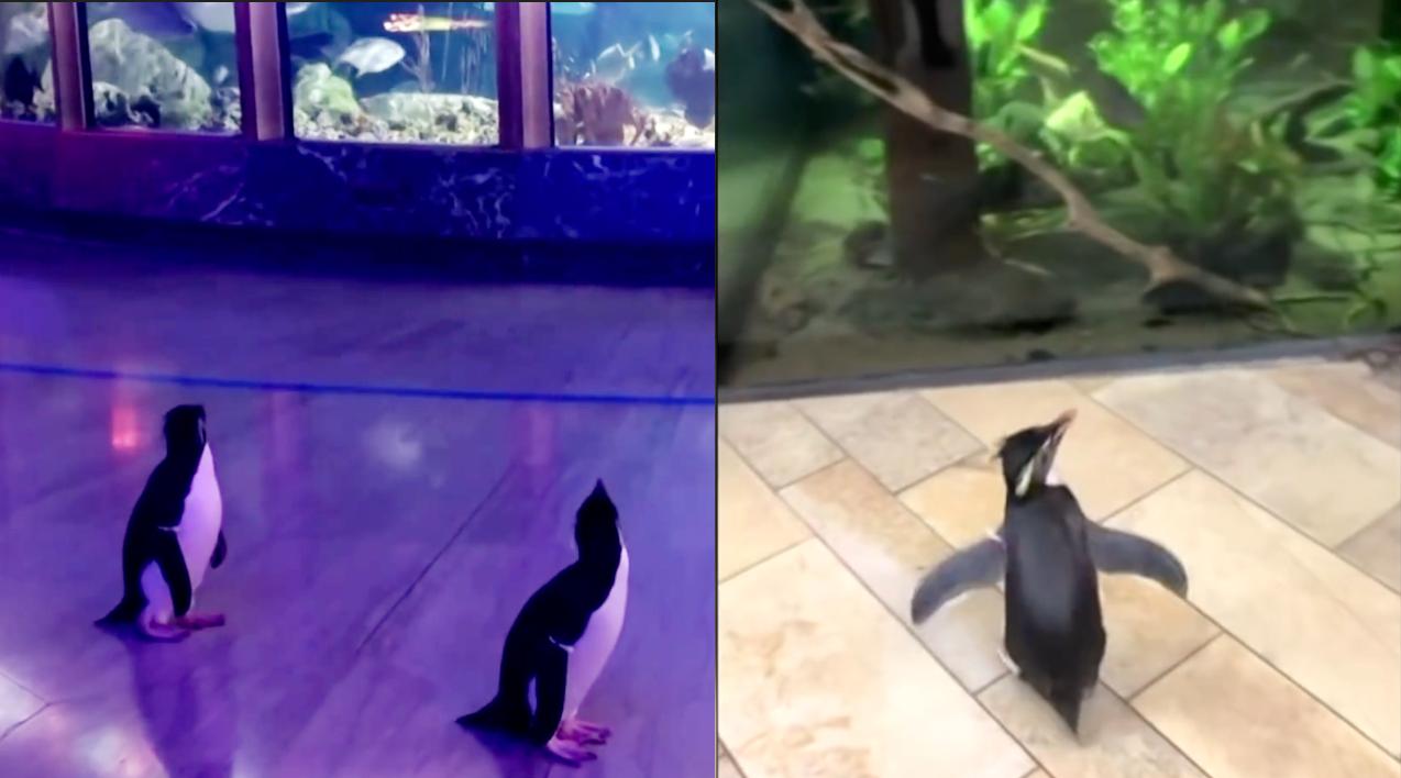 """【钛搞了·视频】美国芝加哥水族馆因疫情关闭,企鹅变成唯一""""游客"""""""