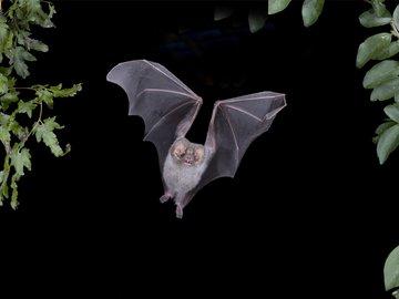 科学家在蝙蝠身上又发现 6 种全新冠状病毒