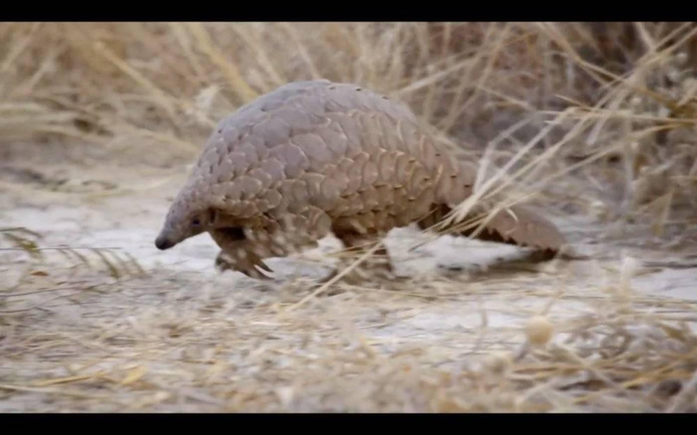 BBC纪录片《穿山甲:被捕杀最多的动物》截图。