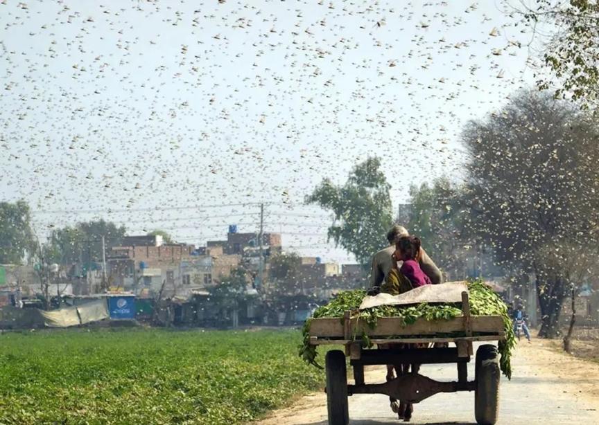 """""""10万鸭兵出征巴基斯坦""""遭光速打脸,牧鸭治蝗为啥不可行?"""