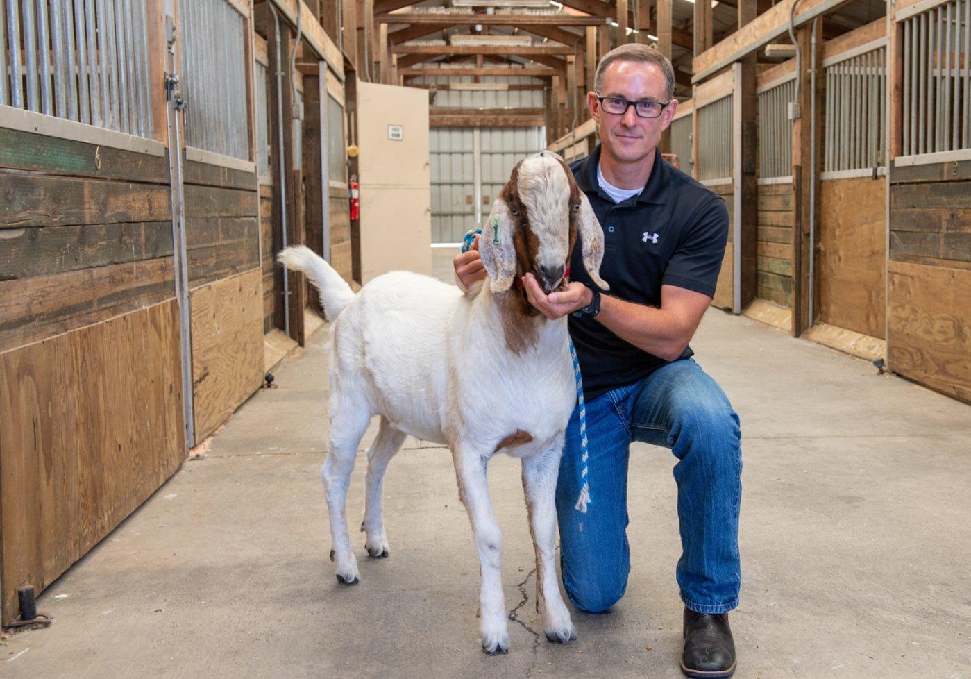 """华盛顿州立大学的生殖生物学家 Jon Oatley 正在喂养一只 """"可代孕山羊爸爸"""""""