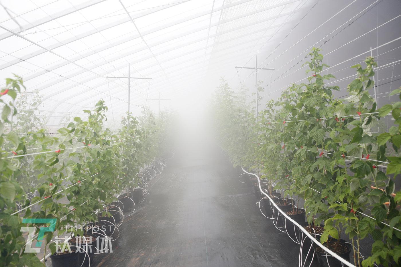 棚顶高压喷雾系统喷出的水汽弥漫在大棚里。