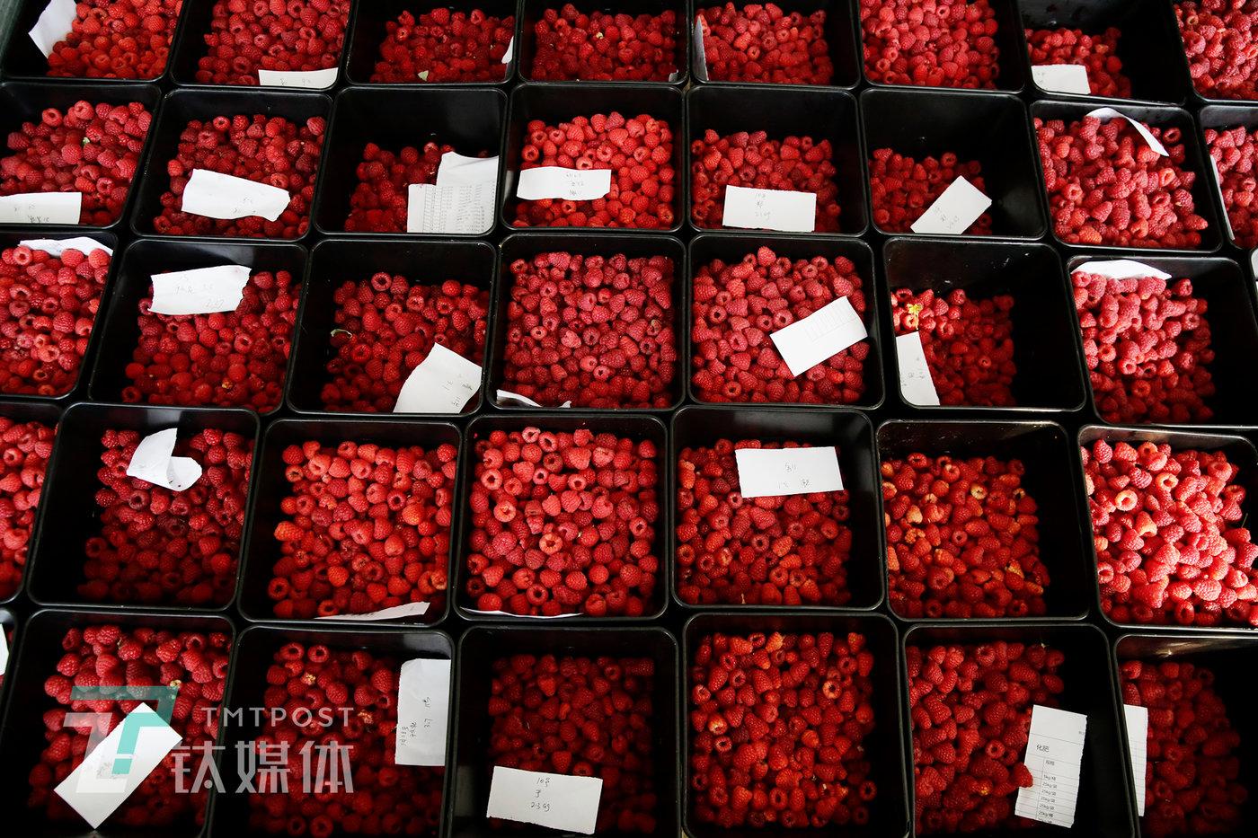 7月31日,基地冷库内,采摘入库的树莓。