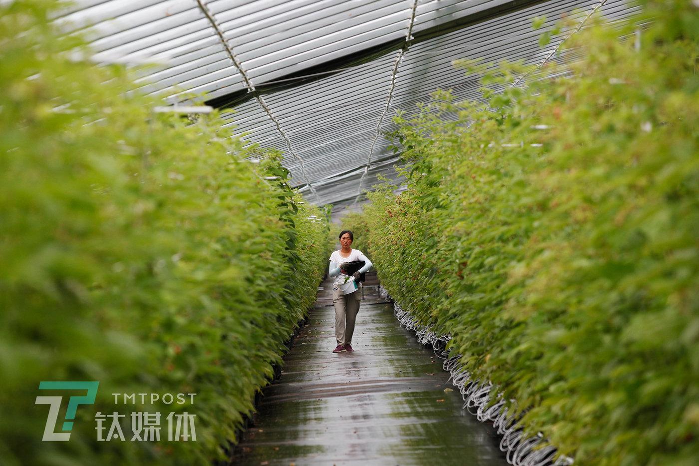 7月31日,基地大棚里,采摘树莓的工人。