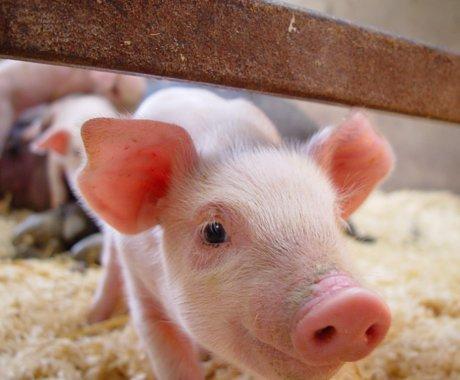 """大厂竞""""猪"""":养猪,养猪,养猪"""