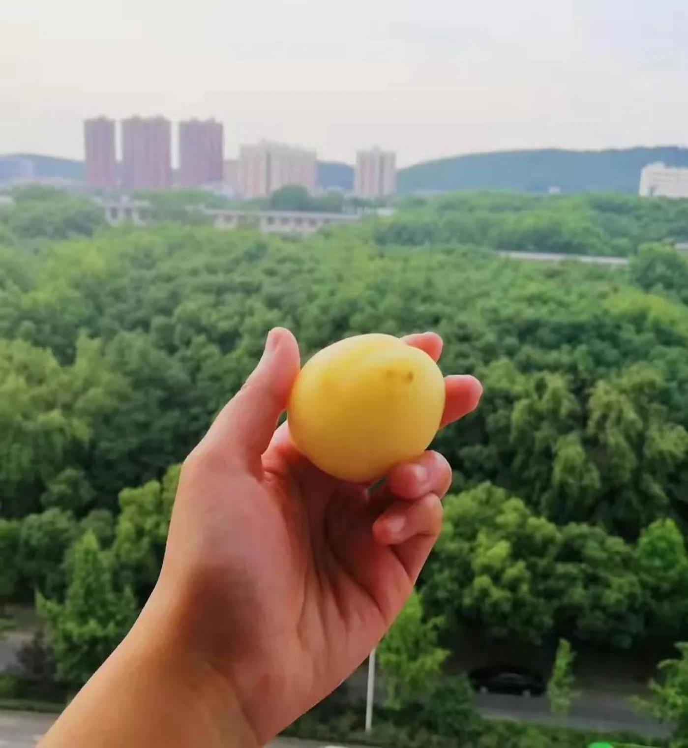 图   向晴曾经收到对方寄来的大白杏